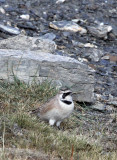 BIRD - LARK - HORNED SKYLARK - JIANG LU LING PASS - QINGHAI CHINA (14).JPG
