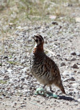 BIRD - PARTRIDGE - UNIDENTIFIED PARTRIDGE - FOOTHILLS NEAR XINGHAI CANYON CHINA (8).JPG