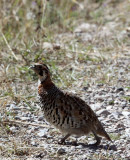 BIRD - PARTRIDGE - UNIDENTIFIED PARTRIDGE - FOOTHILLS NEAR XINGHAI CANYON CHINA (9).JPG