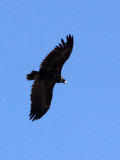 BIRD - VULTURE - CINEREOUS OR Black Vulture (Aegypius monachus) - FOOTHILLS NEAR XINGHAI CHINA (2).JPG