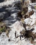 BOVID - BLUE SHEEP - SAI ZONG GOMPA QINGHAI CHINA (47).JPG