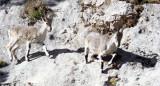 BOVID - BLUE SHEEP - SAI ZONG GOMPA QINGHAI CHINA (51).JPG