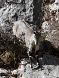 BOVID - BLUE SHEEP - SAI ZONG GOMPA QINGHAI CHINA (62).JPG