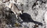 BOVID - BLUE SHEEP - SAI ZONG GOMPA QINGHAI CHINA (69).JPG
