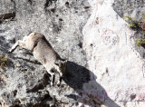 BOVID - BLUE SHEEP - SAI ZONG GOMPA QINGHAI CHINA (71).JPG