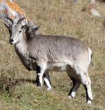 BOVID - BLUE SHEEP - SAI ZONG GOMPA QINGHAI CHINA (95).JPG