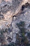 BOVID - BLUE SHEEP - XINGHAI CANYON NEAR SAI ZONG GOMPA QINGHAI CHINA (18).JPG