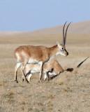 BOVID - TIBETAN ANTELOPE -  KEKEXILI NATIONAL RESERVE - QINGHAI PROVINCE - CORE AREA (155).JPG