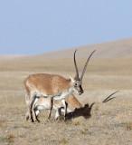 BOVID - TIBETAN ANTELOPE -  KEKEXILI NATIONAL RESERVE - QINGHAI PROVINCE - CORE AREA (156).JPG
