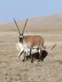 BOVID - TIBETAN ANTELOPE -  KEKEXILI NATIONAL RESERVE - QINGHAI PROVINCE - CORE AREA (160).JPG