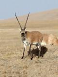 BOVID - TIBETAN ANTELOPE -  KEKEXILI NATIONAL RESERVE - QINGHAI PROVINCE - CORE AREA (162).JPG