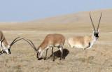BOVID - TIBETAN ANTELOPE -  KEKEXILI NATIONAL RESERVE - QINGHAI PROVINCE - CORE AREA (171).JPG