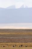 BOVID - TIBETAN ANTELOPE -  KEKEXILI NATIONAL RESERVE - QINGHAI PROVINCE - CORE AREA (40).JPG