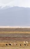 BOVID - TIBETAN ANTELOPE -  KEKEXILI NATIONAL RESERVE - QINGHAI PROVINCE - CORE AREA (51).JPG