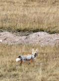 CANID - FOX - TIBETAN FOX -  KEKEXILI NATIONAL RESERVE - QINGHAI PROVINCE - WEST OF QUMALAI (3).JPG