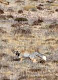 CANID - FOX - TIBETAN FOX - DONG GEI CUO NA LAKE QINGHAI CHINA (9).JPG