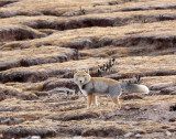 CANID - FOX - TIBETAN FOX - KEKEXILI NATIONAL RESERVE - QINGHAI PROVINCE - CORE AREA (3).JPG