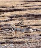CANID - FOX - TIBETAN FOX - KEKEXILI NATIONAL RESERVE - QINGHAI PROVINCE - CORE AREA (6).JPG