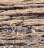 CANID - FOX - TIBETAN FOX - KEKEXILI NATIONAL RESERVE - QINGHAI PROVINCE - CORE AREA (8).JPG