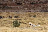 CANID - FOX - TIBETAN FOX - KEKEXILI NATIONAL RESERVE - QINGHAI PROVINCE - EASTERN SECTOR (15).JPG