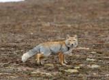 CANID - FOX - TIBETAN FOX - KEKEXILI NATIONAL RESERVE - QINGHAI PROVINCE - EASTERN SECTOR (20).JPG