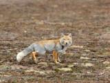 CANID - FOX - TIBETAN FOX - KEKEXILI NATIONAL RESERVE - QINGHAI PROVINCE - EASTERN SECTOR (21).JPG