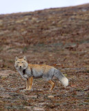 CANID - FOX - TIBETAN FOX - KEKEXILI NATIONAL RESERVE - QINGHAI PROVINCE - EASTERN SECTOR (25).JPG