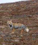 CANID - FOX - TIBETAN FOX - KEKEXILI NATIONAL RESERVE - QINGHAI PROVINCE - EASTERN SECTOR (26).JPG