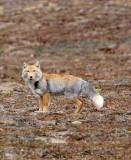 CANID - FOX - TIBETAN FOX - KEKEXILI NATIONAL RESERVE - QINGHAI PROVINCE - EASTERN SECTOR (27).JPG