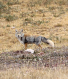 CANID - FOX - TIBETAN FOX - KEKEXILI NATIONAL RESERVE - QINGHAI PROVINCE - EASTERN SECTOR (50).JPG