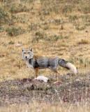 CANID - FOX - TIBETAN FOX - KEKEXILI NATIONAL RESERVE - QINGHAI PROVINCE - EASTERN SECTOR (51).JPG