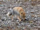 CANID - FOX - TIBETAN FOX - NEAR BAYANKALA PASS QINGHAI CHINA (27).JPG