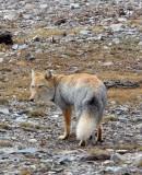 CANID - FOX - TIBETAN FOX - NEAR BAYANKALA PASS QINGHAI CHINA (29).JPG