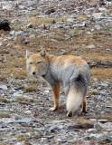 CANID - FOX - TIBETAN FOX - NEAR BAYANKALA PASS QINGHAI CHINA (31).JPG