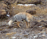 CANID - FOX - TIBETAN FOX - NEAR BAYANKALA PASS QINGHAI CHINA (37).JPG