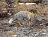 CANID - FOX - TIBETAN FOX - NEAR BAYANKALA PASS QINGHAI CHINA (38).JPG