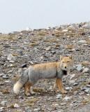 CANID - FOX - TIBETAN FOX - NEAR BAYANKALA PASS QINGHAI CHINA (46).JPG