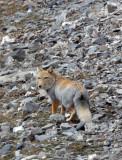 CANID - FOX - TIBETAN FOX - NEAR BAYANKALA PASS QINGHAI CHINA (51).JPG