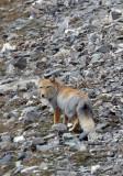 CANID - FOX - TIBETAN FOX - NEAR BAYANKALA PASS QINGHAI CHINA (53).JPG