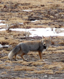 CANID - FOX - TIBETAN FOX - NEAR BAYANKALA PASS QINGHAI CHINA (62).JPG