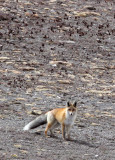 CANID - FOX - TIBETAN RED FOX -  KEKEXILI NATIONAL RESERVE - QINGHAI PROVINCE - WEST OF QUMALAI (12).jpg