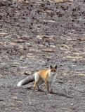 CANID - FOX - TIBETAN RED FOX -  KEKEXILI NATIONAL RESERVE - QINGHAI PROVINCE - WEST OF QUMALAI (15).jpg