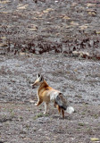 CANID - FOX - TIBETAN RED FOX -  KEKEXILI NATIONAL RESERVE - QINGHAI PROVINCE - WEST OF QUMALAI (3).JPG