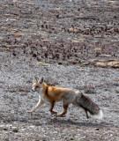CANID - FOX - TIBETAN RED FOX -  KEKEXILI NATIONAL RESERVE - QINGHAI PROVINCE - WEST OF QUMALAI (7).JPG