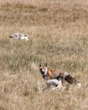CANID - FOX - TIBETAN RED FOX QINGHAI LAKE QINGHAI CHINA (13).JPG