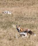 CANID - FOX - TIBETAN RED FOX QINGHAI LAKE QINGHAI CHINA (14).JPG