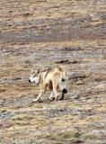 CANID - TIBETAN WOLF -  KEKEXILI NATIONAL RESERVE - QINGHAI PROVINCE - WEST OF QUMALAI (1).JPG