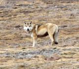 CANID - TIBETAN WOLF -  KEKEXILI NATIONAL RESERVE - QINGHAI PROVINCE - WEST OF QUMALAI (10).jpg