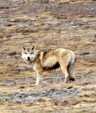 CANID - TIBETAN WOLF -  KEKEXILI NATIONAL RESERVE - QINGHAI PROVINCE - WEST OF QUMALAI (11).JPG