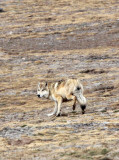 CANID - TIBETAN WOLF -  KEKEXILI NATIONAL RESERVE - QINGHAI PROVINCE - WEST OF QUMALAI (2).JPG